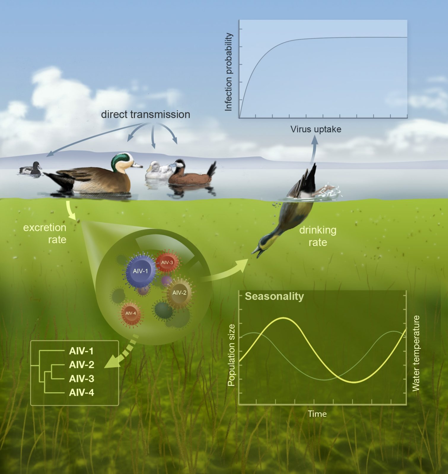 Schematic of avian influenza transmission dynamics and evolution.